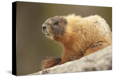 Yellowstone NP, Wyoming Yellow-bellied marmot keeping a watch with its teeth showing-Janet Horton-Stretched Canvas Print