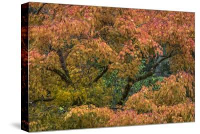USA, Washington State, Bainbridge Island. Japanese maple tree in autumn.-Jaynes Gallery-Stretched Canvas Print