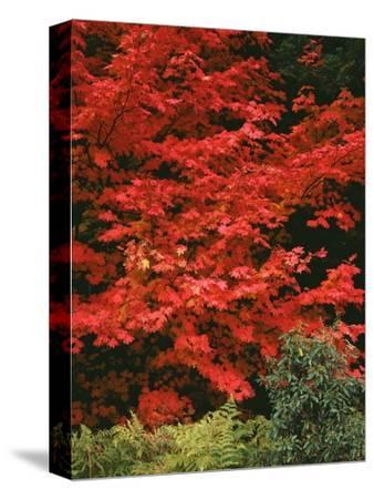 Oregon, Mount Hood NF. Bright red leaves of vine maple in autumn contrast with ferns and shrub.-John Barger-Stretched Canvas Print