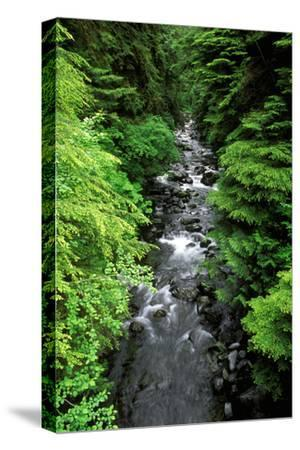 Dense forest along Howe Creek in the Quinault Rain Forest, Olympic National Park, WA.-Russ Bishop-Stretched Canvas Print