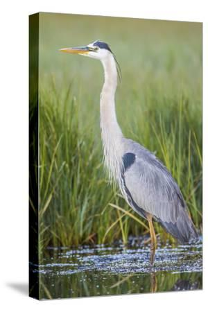 USA, Wyoming, Sublette County. Great Blue Heron standing in a wetland full of sedges in Summer.-Elizabeth Boehm-Stretched Canvas Print