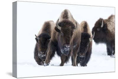 Wyoming, Yellowstone NP. American bison (Bos bison) beginning to run through the deep snow.-Ellen Goff-Stretched Canvas Print