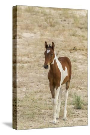 USA, Utah, Tooele County. Wild horse foal close-up.-Jaynes Gallery-Stretched Canvas Print