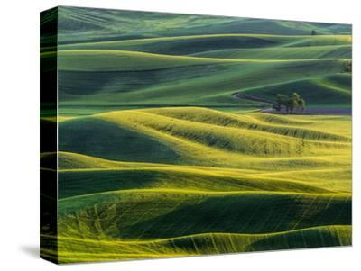 Lone tree in fields of wheat, peas and barley-Terry Eggers-Stretched Canvas Print