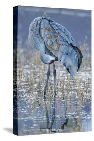 USA, New Mexico, Bosque Del Apache National Wildlife Refuge. Sandhill crane grooming.-Jaynes Gallery-Stretched Canvas Print