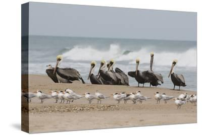 Brown Pelicans and Elegant Terns on the beach-Ken Archer-Stretched Canvas Print