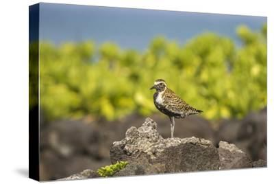 USA, Hawaii, Honokohau Bay. Pacific golden plover close-up.-Jaynes Gallery-Stretched Canvas Print