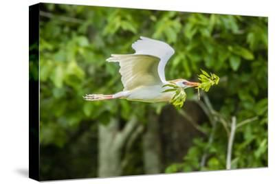 USA, Louisiana, Vermilion Parish. Cattle egret carrying nest material.-Jaynes Gallery-Stretched Canvas Print