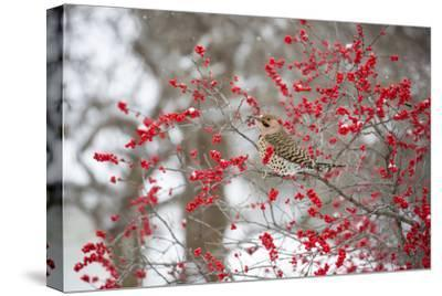 Northern Flicker (Colaptes auratus) male in Winterberry bush in winter, Marion County, Illinois-Richard & Susan Day-Stretched Canvas Print