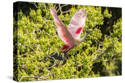 USA, Louisiana, Vermilion Parish. Roseate spoonbill taking flight.-Jaynes Gallery-Stretched Canvas Print