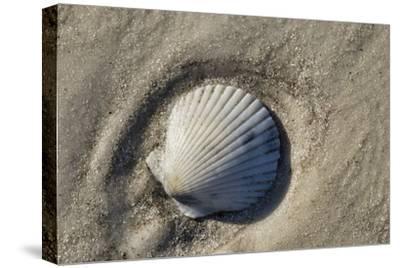 Seashell, Honeymoon Island State Park, Dunedin, Florida, USA-Jim Engelbrecht-Stretched Canvas Print