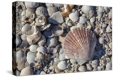Seashells, Honeymoon Island State Park, Dunedin, Florida, USA-Jim Engelbrecht-Stretched Canvas Print