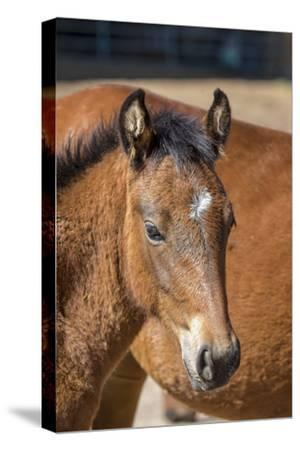 USA, Colorado, San Luis. Wild horse foal close-up.-Jaynes Gallery-Stretched Canvas Print