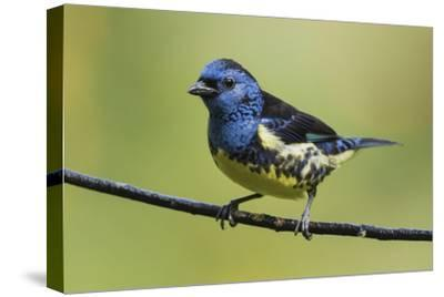 Turquoise tanager-Ken Archer-Stretched Canvas Print