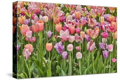 USA, Delaware, Hockessin. Tulips-Hollice Looney-Stretched Canvas Print