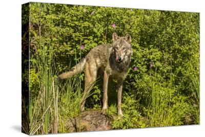 USA, Minnesota, Pine County. Captive gray wolf adult.-Jaynes Gallery-Stretched Canvas Print