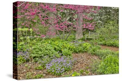USA, Delaware, Hockessin. Flowering dogwood in the forest-Hollice Looney-Stretched Canvas Print