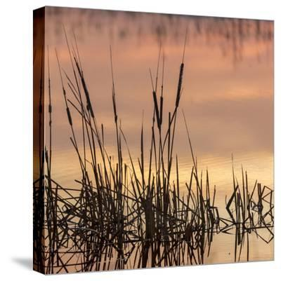 Cattails at sunrise, Bosque del Apache National Wildlife Refuge, New Mexico-Maresa Pryor-Stretched Canvas Print