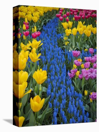 Usa, Washington State, Mount Vernon. Display garden at Skagit Valley Tulip Festival-Merrill Images-Stretched Canvas Print