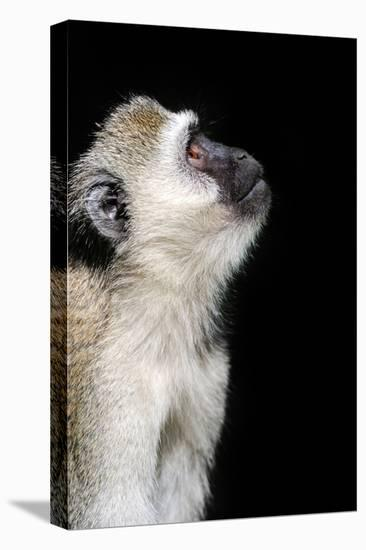Vervet Monkey-byrdyak-Stretched Canvas Print