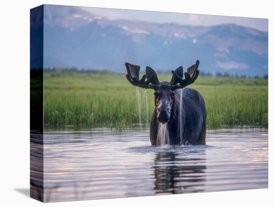 Water Pours from the Antlers of a Bull Moose Lifting His Head from Beaverdam Creek-Tom Murphy-Stretched Canvas Print