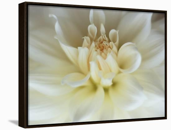 White Dahlia Close-up-Janell Davidson-Framed Canvas Print