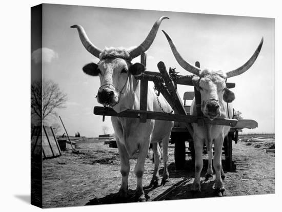 White Long-Horned Steers Teamed Up Like Oxen to Pull a Hay Wagon on the Anyala Farm-Margaret Bourke-White-Stretched Canvas Print