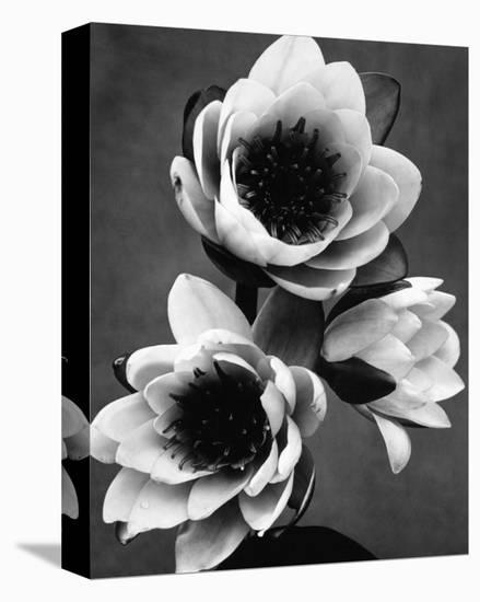 White Water Lily--Stretched Canvas Print
