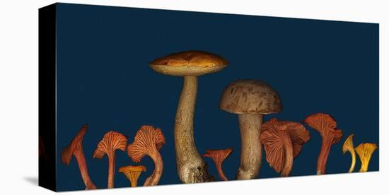 Wild edible Mushrooms--Stretched Canvas Print