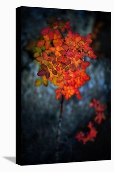 Wild Rose Bush in October-Ursula Abresch-Stretched Canvas Print