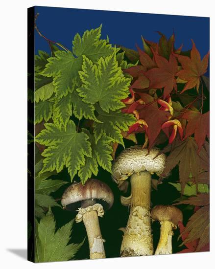 Wine caps wild Mushrooms--Stretched Canvas Print