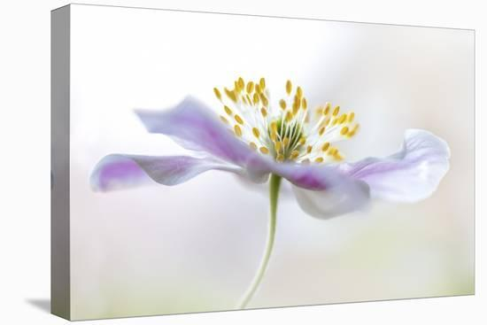Wood Anemone-Mandy Disher-Stretched Canvas Print