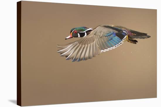 Wood Duck-Mircea Costina-Stretched Canvas Print