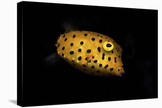 Yellow Boxfish-Barathieu Gabriel-Stretched Canvas Print