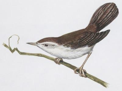 Zoology: Birds, Cetti's Warbler--Stretched Canvas Print