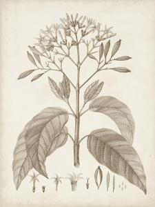 Antique Sepia Botanicals III by 0 Unknown