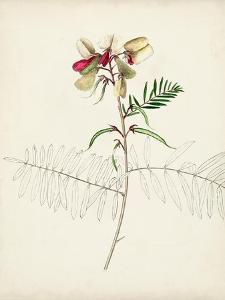 Watercolor Botanical Sketches II by 0 Unknown