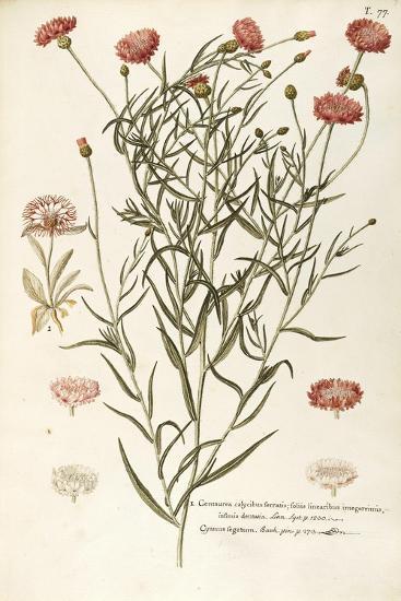 1) Cornflower--Giclee Print