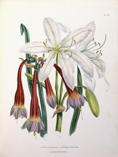 1. Crinum Arenarium and 2. Cobergia Incarnata, 1840-1844--Giclee Print