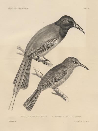 1. Meropogan Breweri and 2. Meropiscus Mulleri, Litho by J.T. Bowen, 1850-Otto Koehler-Giclee Print