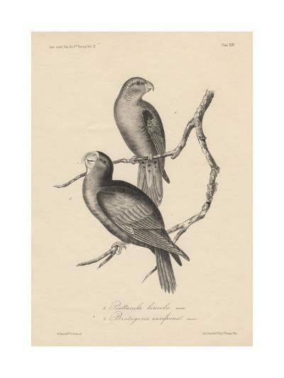 1. Psittacula Lineola and 2. Brotogeris Aurifrons, Litho by J.T. Bowen, 1850-William E. Hitchcock-Giclee Print