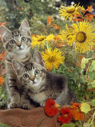 10-Week, Short-Haired Ticked Tabby Kittens with Nasturtiums, Montbretia and Yellow Daisies-Jane Burton-Photographic Print