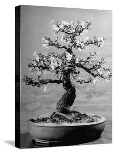 100-Year-Old Bonsai Cherry Tree in Collection of Keibun Tanaka