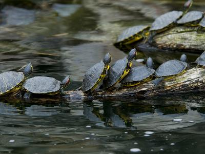 11 Turtles Bask on a Log in the Sun-Brian Gordon Green-Photographic Print