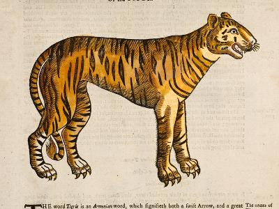 1607 Tiger by Topsell-Paul Stewart-Photographic Print