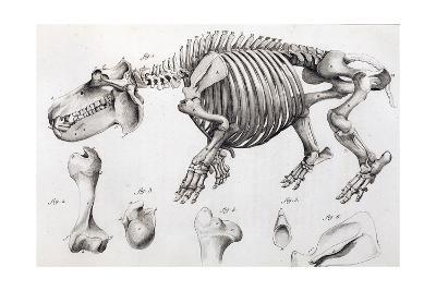 1812 Hippopotamus Skeleton by Cuvier-Stewart Stewart-Giclee Print