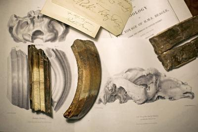 1838 Toxodon Teeth & Figs. From Darwin C-Paul Stewart-Photographic Print
