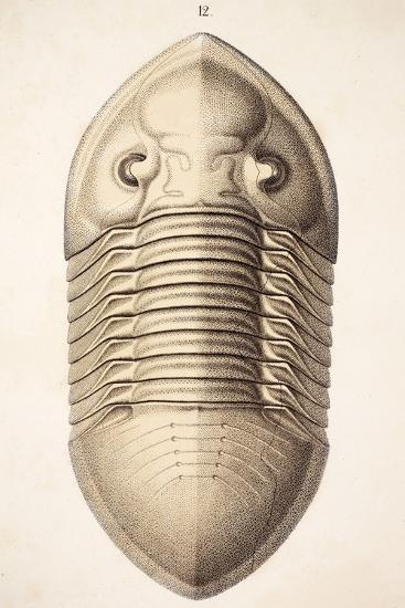 1846 Victorian Trilobite Platycephalus-Paul Stewart-Photographic Print