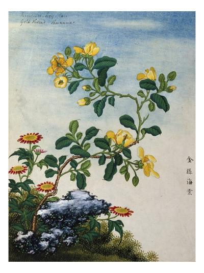 18th-Century Chinese Watercolor of Gold Thread Plant--Giclee Print