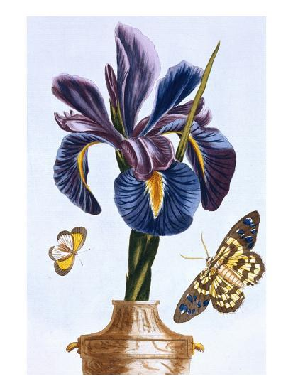 18th Century French Print of Common Iris With Butterflies-Stapleton Collection-Giclee Print